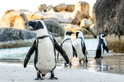 African jackass penguins, Boulders Beach, Cape Town