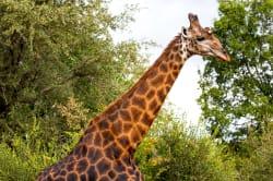 Giraffe, Karongwe Private Game Reserve