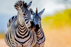 Zebras, Kruger National Park