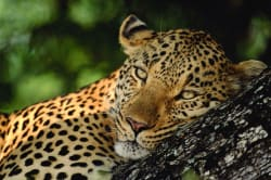 Leopard South African Tourism