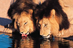 Lions at a waterhole South African Tourism