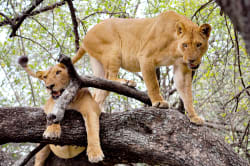 Lions in a tree, Lake Manyara National Park