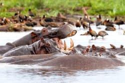 Hippos, Lake Manyara National Park, Tanzania
