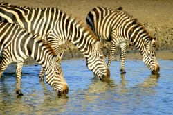 Zebras drinking, Serengeti National Park Photo by Gene Taylor on Unsplash