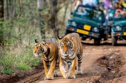 Bengal tiger, Ranthambore