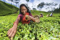 Woman picking tea leaves, Nuwara Eliya