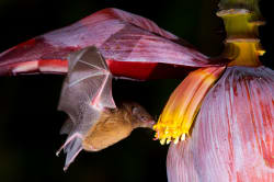 Bat eating nectar from a banana flower