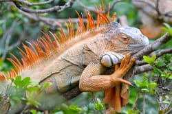Green iguana Photo by Chris J Walker on Unsplash