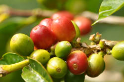 Coffee beans Photo by Amy Steinfeld
