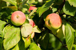 Estonian table apples