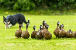Sheepdog herding ducks