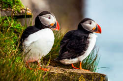 Puffins, Witless Bay Ecological Reserve