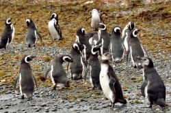 Magellanic penguins Photo by Mc Manus