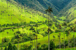 Wax palm trees, Cocora Valley