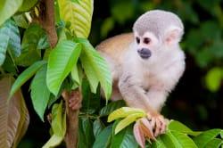 Squirrel monkey photo by MV Manatee ©Anakonda Amazon Cruises