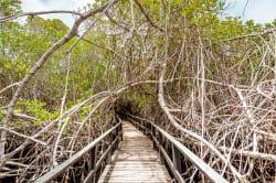 Mangrove, Concha de Perla
