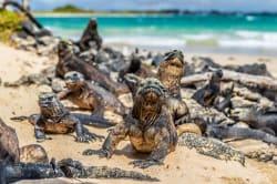 Marine iguanas, Puerto Villamil