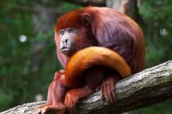 Red howler monkey, Puerto Maldonado