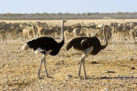 Ostriches & zebras