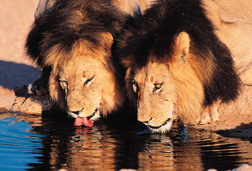 Lions at a waterhole