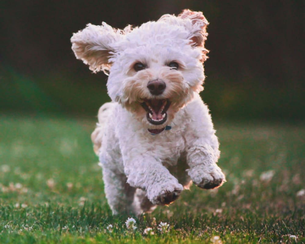 White dog running in field
