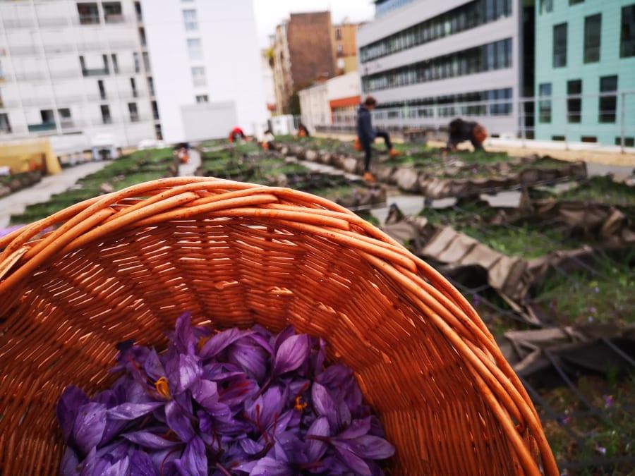 Team Building Récolte de Safran sur les toits de Paris