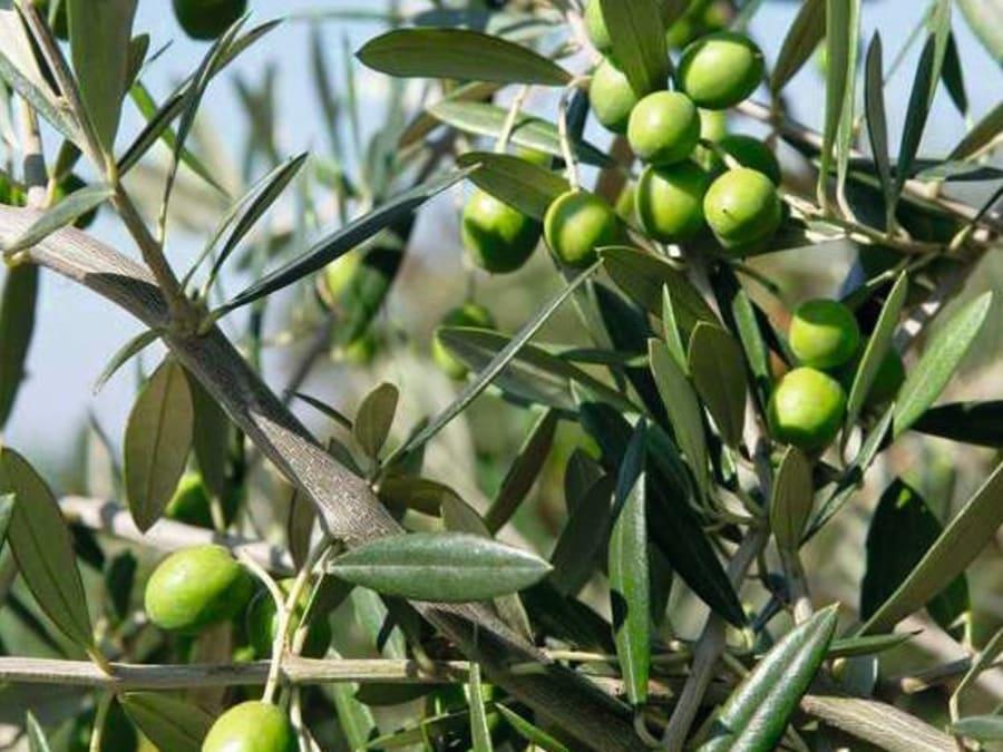 Atelier cours sur la taille des oliviers Truffaut Ville-du-Bois