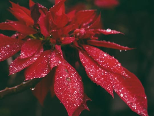A close-up photo of poinsettias representing the ideas for holiday memorial services Funeralocity offers