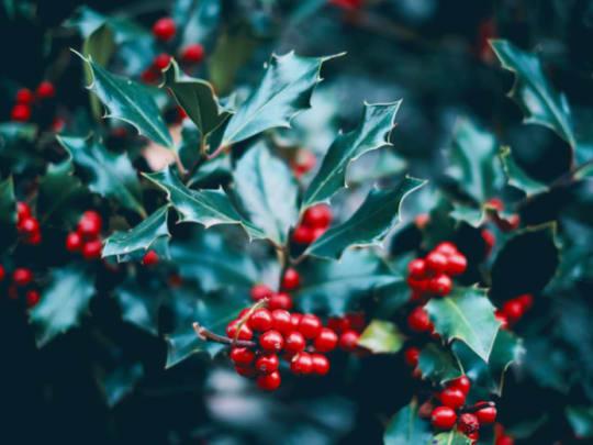 A branch of mistletoe