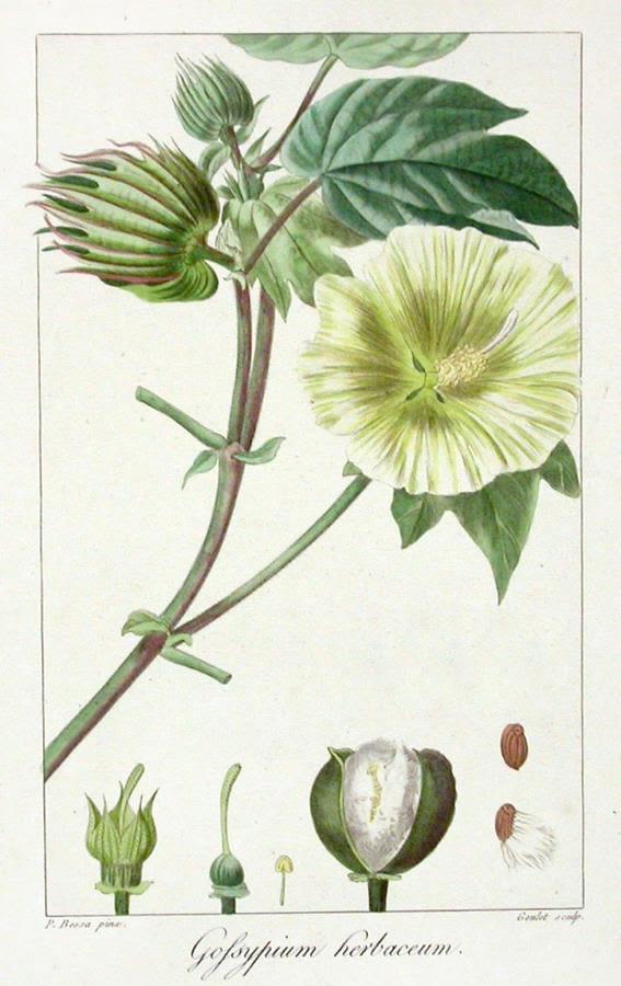 Bawełna – Gossypium