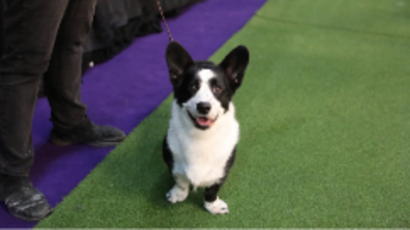 2020 Dog Show.Westminster Dog Show 2020 Breed Results Show 2020