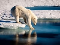 Ellesmere Island Polar Bear Stepping onto Ice