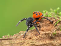 The Big Bang Ladybird Spider