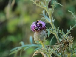 Biodiversity Offsetting Thistle