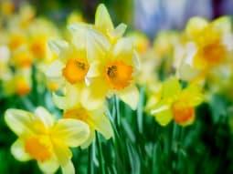 The Big Bang Spring Flowers Daffodils
