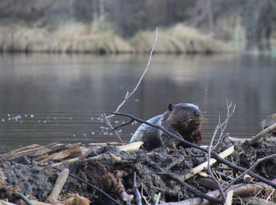 Beaver 1 puzx10