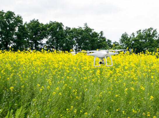 White drone over the field of flowering rape