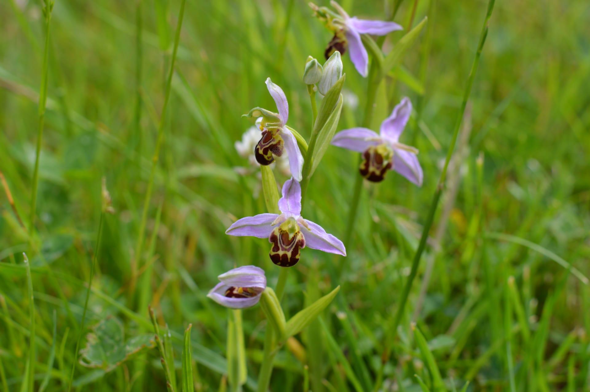 Bee orchid lcwrua