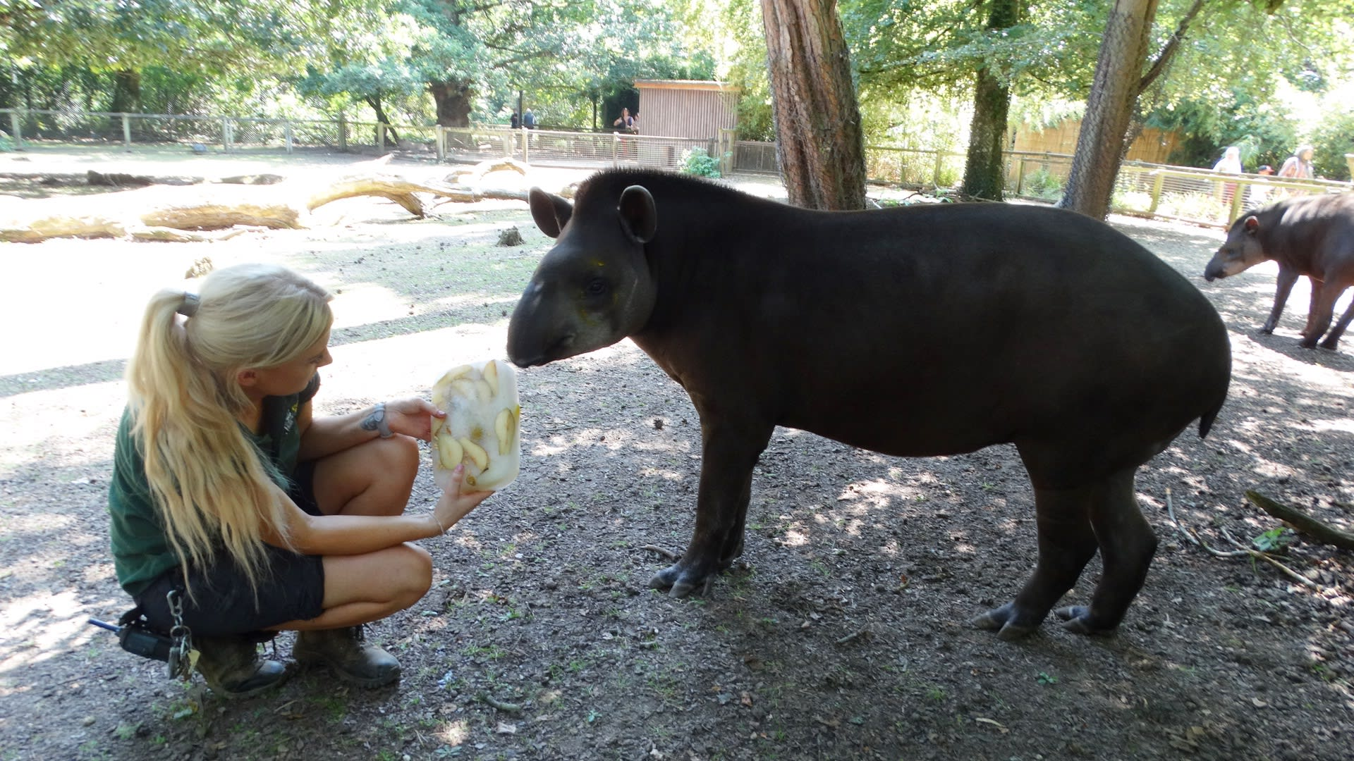 Cotswold Wildlife Park Ice Tapirs with keeper Jenni