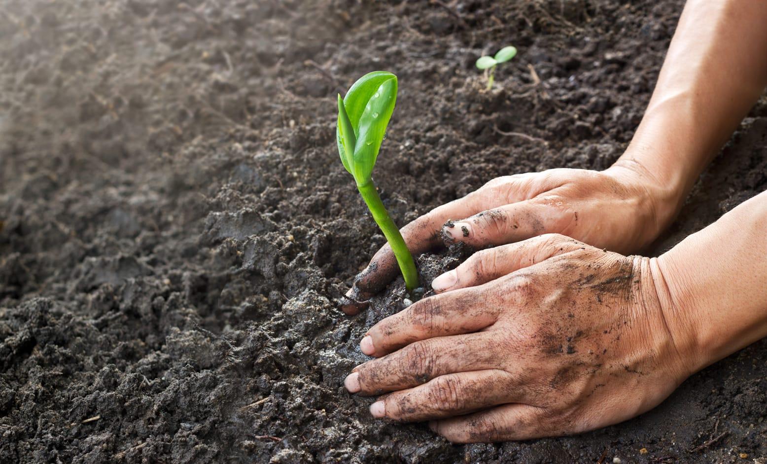 Gardening Man Planting By Hand