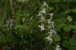 Butterfly orchid zjscac