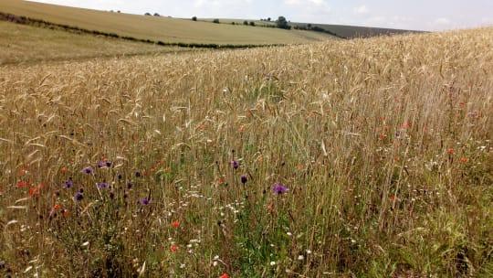 OAD Heritage rye field with crop weeds 1 1 cpxis1