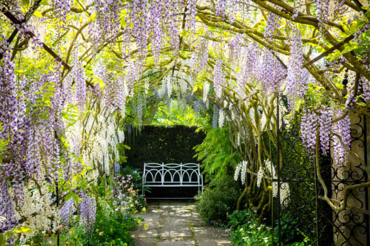 Waterperry Gardens Purple Blossom Archway