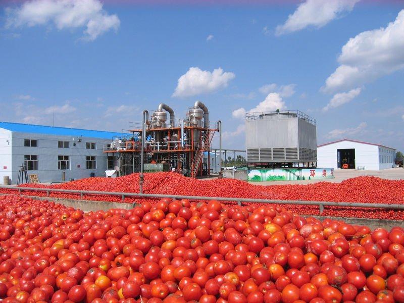 Dangote Farms invested US.6m to improve tomato production in Nigeria