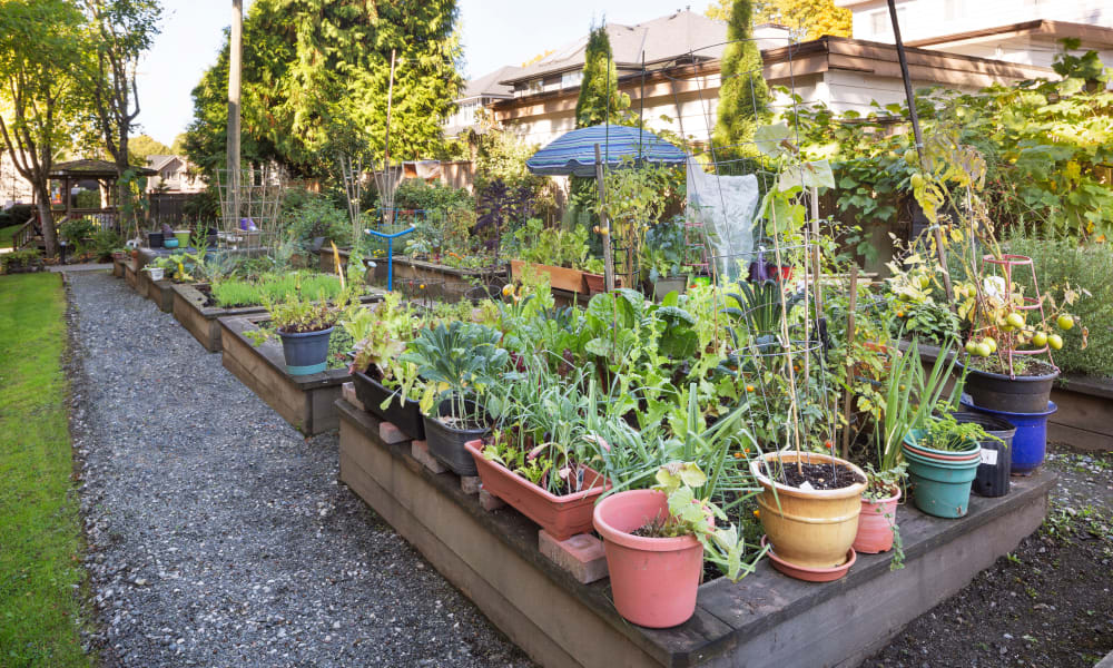 Plants in the community garden at Larchway Gardens in Vancouver, British Columbia