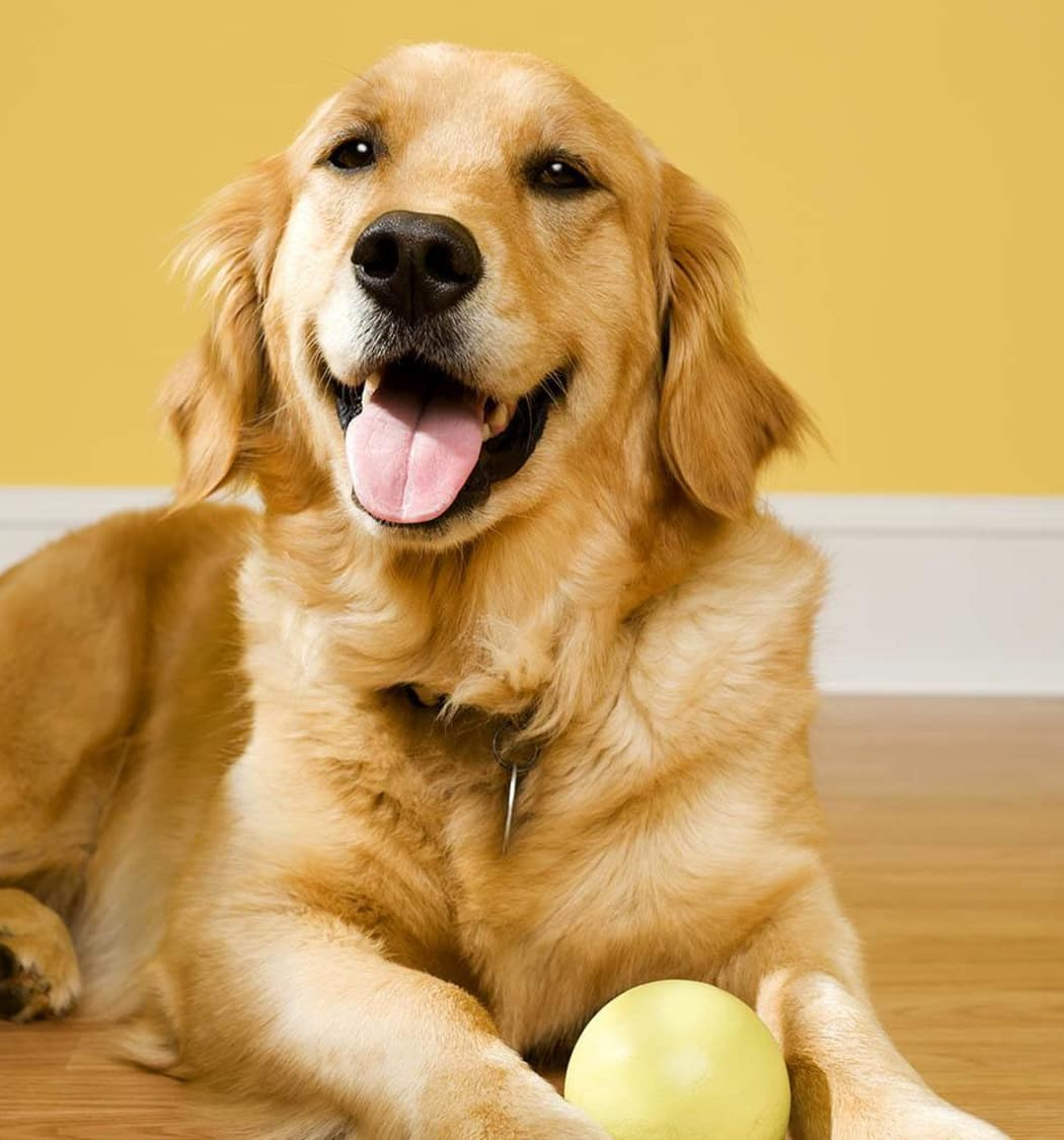 Happy Golden Retriever at Value Pet Clinic - Tacoma