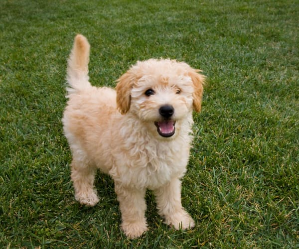 A labradoodle puppy wanting to play at Villas of Preston Creek