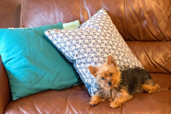 Little Yorkie relaxing on a sofa at Westwood Village in Ames, Iowa