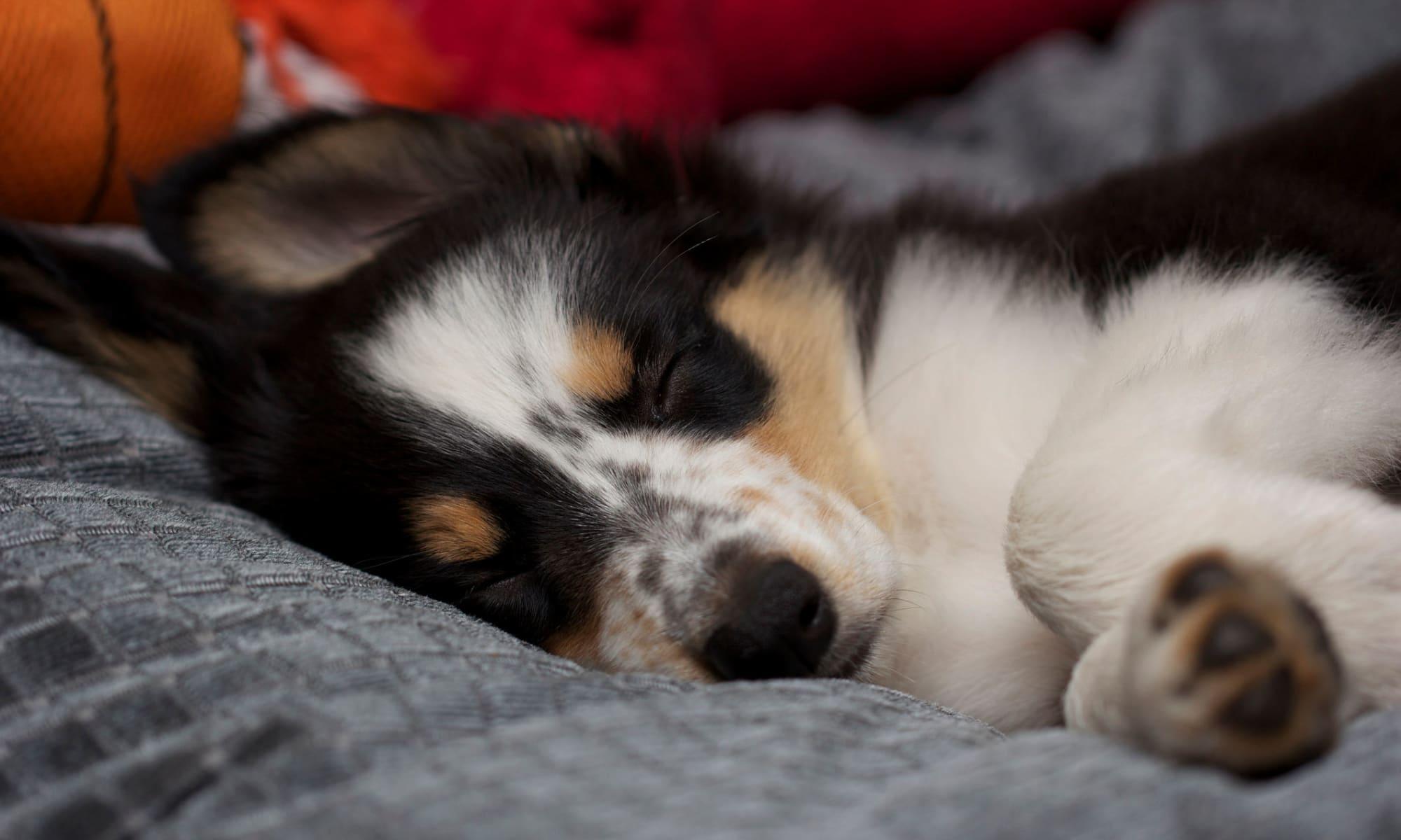 Puppy sleeping on dog bed.