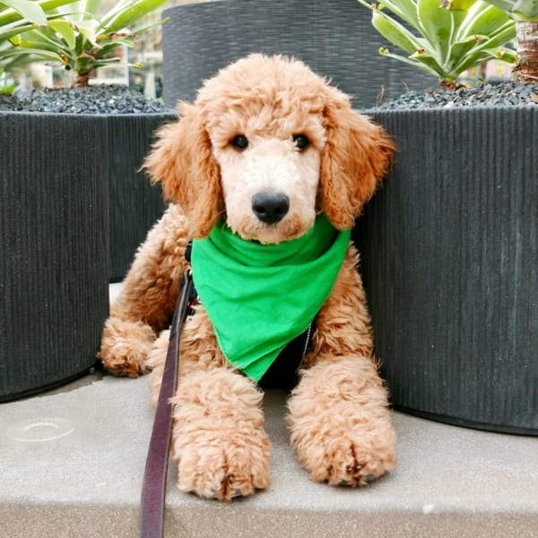 Cute labradoodle wearing a green bandanna at Sky at Chandler Airpark in Chandler, Arizona